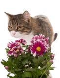 Graue Katze und ein Blumenstrauß von Chrysanthemen Lizenzfreie Stockbilder