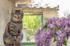 Graue Katze und Vase mit Fliedern Lizenzfreie Stockfotografie