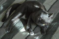 Graue Katzengelbaugen Stockfotos