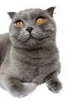 Graue Katzenzucht Scottish falten Lügen und oben schauen Isolierungsgegenstand auf einem weißen Hintergrund Stockfotografie