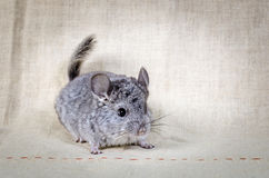 Graue kleine Chinchilla Stockbild