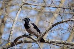Graue Krähe auf Baum Alleine sitzen Stockfotografie