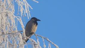 Graue Krähe auf den Birkenzweigen umfasst mit Reif gegen blauen Himmel stock video footage