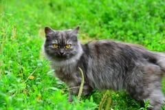 Graue Langhaarkatze, die im Gras im Sommer steht Lizenzfreies Stockbild