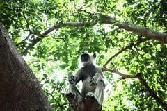 Graue Langurs sind leben in den Wäldern terrestrisch lizenzfreie stockfotografie