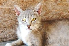 Graue Luchskatze mit den großen Ohren und den gelben Augen liegt, obdachloses Übel schauend stockbilder