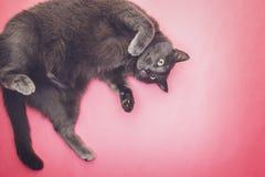 Graue lustige Katzenaufstellung Lizenzfreies Stockfoto