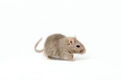 Graue Mäuserennmaus Stockbilder