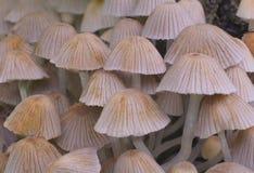 Graue mashrooms Lizenzfreies Stockfoto