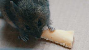Graue Maus des Hauses, die Stück Käse in einer Pappschachtel isst stock video footage