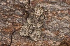 Graue Motte der Pappel u. x28; Acronicta-megacephala& x29; im Ruhezustand auf Barke Lizenzfreie Stockfotos