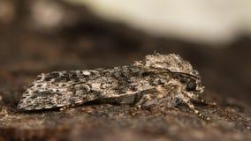Graue Motte der Pappel u. x28; Acronicta-megacephala& x29; im Ruhezustand im Profil Stockbilder