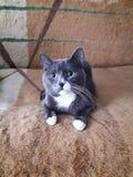 Graue nette Katze Lizenzfreie Stockfotografie