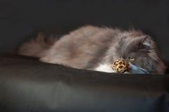 Graue persische Katze Lizenzfreie Stockbilder