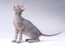 Graue Peterbald Katze, orientalisches Shorthair Stockbilder