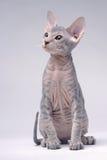 Graue Peterbald Katze, orientalisches Shorthair Stockfotos