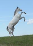 Graue Pferdenrückseiten in der Wiese Lizenzfreie Stockfotos