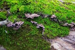 Graue, purpurrote Pilze auf der Barke von Bäumen des grünen, Pelzmooses Stockfotos