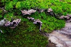 Graue, purpurrote Pilze auf der Barke von Bäumen des grünen, Pelzmooses Lizenzfreie Stockbilder