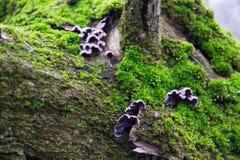 Graue, purpurrote Pilze auf der Barke von Bäumen des grünen, Pelzmooses Lizenzfreies Stockbild