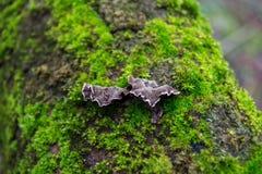 Graue, purpurrote Pilze auf der Barke von Bäumen des grünen, Pelzmooses Stockfotografie