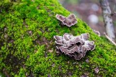 Graue, purpurrote Pilze auf der Barke von Bäumen des grünen, Pelzmooses Lizenzfreies Stockfoto