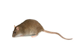 Graue Ratte mit dem langen Heck Lizenzfreies Stockfoto