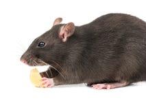 Graue Ratte mit Käse stockfotos