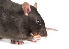 Graue Ratte mit Käse stockfoto
