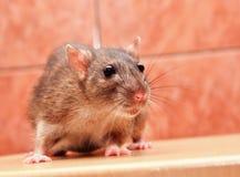Graue Rattenahaufnahme Lizenzfreie Stockbilder