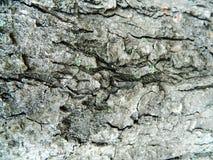 Graue raue Barke einer alten Kastanie Stockfoto