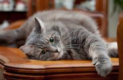 Graue russische Katze zu Hause Stockfotografie