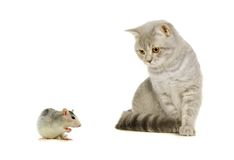 Graue schottische Katze und Maus auf dem Weiß Lizenzfreie Stockfotos