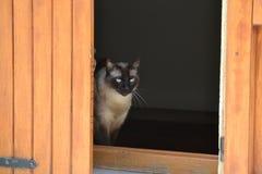 Graue schwarze siamesische Katze Lizenzfreie Stockfotografie