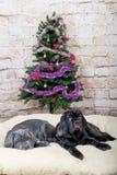 Graue, schwarze und braune Welpen züchten Neapolitana Mastino Hundeführer, die Hunde seit Kindheit ausbilden Hunde haben einen We Stockbilder