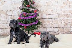 Graue, schwarze und braune Welpen züchten Neapolitana Mastino Hundeführer, die Hunde seit Kindheit ausbilden Hunde haben einen We Stockfotos