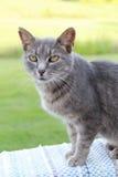 Graue shorthair Katze Stockfotografie