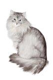 Graue sibirische Katze auf Weiß Stockfotos
