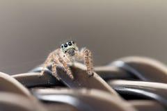 Graue Spinne stockfotos