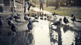 Graue Stadtvögel - Tauben auf nassem Asphalt Lizenzfreie Stockbilder