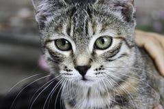 Graue stripy Katze lizenzfreies stockbild