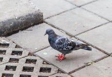 Graue Taube auf dem Boden Lizenzfreie Stockfotografie