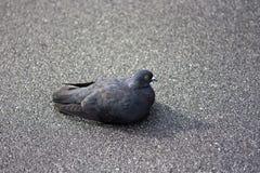 Graue Taube, die auf Asphalt sitzt Lizenzfreie Stockbilder