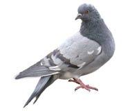 Graue Taube lokalisiert auf einem weißen Hintergrund Wilde Taube Stockbilder