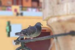 Graue Taube mit den schwarzen Sommersprossen, die allein auf Stadtbrunnen stehen Stockbilder