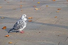 Graue Taube Schöner Abschluss oben Stadtvögel Lizenzfreies Stockfoto