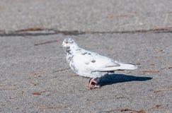 Graue Taube Schöner Taubenabschluß oben Stadtvögel Lizenzfreie Stockfotografie
