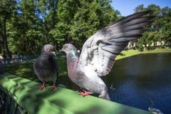 Graue Taube zwei auf grünem Geländer Lizenzfreie Stockfotografie