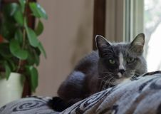 Graue traurige Katze stockfotografie