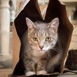 Graue u. weiße Katze in einer Brown-Papiertüte stockfotos